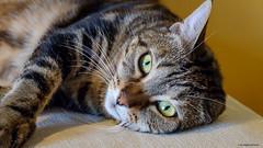 Maya (gRom62) Tags: animali gatti animals pets cats