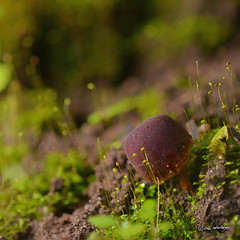 Setchelliogaster tenuipes (pedrographer) Tags: fungi macro micronikkor200f4ais setchelliogastertenuipes pdc hongo micorriza viadelmar 200f4