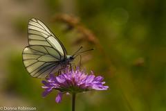 Black-veined White (Donna Hampshire) Tags: donnarobinson donnahampshire blackveinedwhite aporiacrataegi butterfly bokeh slovenia