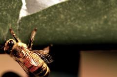 Honeybee (Large Image) (Josh Rokman) Tags: bee insect flyinginsect honeybee honey sting stinginginsect stinging nikond7000 nature naturemacro naturecloseup wings insectmacro