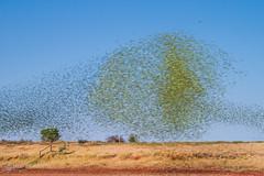 IMG_0607.jpg (Paul Williams www.IronAmmonitePhotography.com) Tags: bird budgerigar summer murmuration dryseason melopsittacusundulatus australia