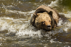 Fighting the current (ChicagoBob46) Tags: grizz grizzly grizzlybear bear yellowstone yellowstonenationalpark nature wildlife