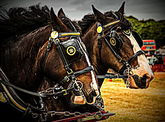 Shires (terry@sevensixty images) Tags: animal shirehorses bridle countryside canoneos760d hdr harness slidersunday