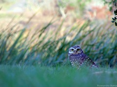 zoiuda (roseand_photograph) Tags: coruja owl