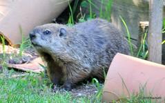DSC_0272 (rachidH) Tags: rodents marmot groundhog woodchuck marmotamonax marmotte sparta nj rachidh nature