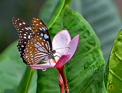 Blue Glassy Tiger - Ideopsis vulgaris (Oldt1mer - Keith) Tags: blueglassytiger ideopsisvulgaris butterfly blue brown frangipani flower foliage leaf pink beautiful antenna wings color colour macro droplet water aruba thebutterflyfarm detail insect explore explored