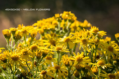 45x50x50 - Yellow Flowers (Forty-9) Tags: canon eos60d eflens ef50mmf18ii lightroom forty9 tomoskay flowers 50mm 50x50x50 50x50x50project 50x50x50challenge 45x50x50 niftyfiftyproject niftyfifty yellow july 30072016 2016 saturday yellowflowers 30thjuly2016