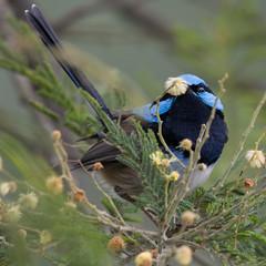Superb Fairywren (malurus cyaneus) (Derek Midgley) Tags: dsc9717 superbfairywren maluruscyaneus wattle flower tree blue male sb