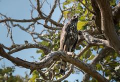 Mountain Hawk Eagle (Technor) Tags: bandipur nilgiris ooty