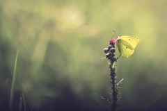 La Estacin Prpura (Gure Elia) Tags: butterfly mariposa yellow green bokeh flower purple prpura samyang135f2 macro canoneos5dmarkii nature