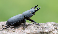 Stag Beetle (The Rustic Frog) Tags: canon eos digital camera lens 70d 100mm f28l macro is warwickshire uk midlands summer insect stag beetle cobweb horns stone antlers wild critter nature creature female