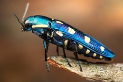 8-spotted jewel beetle (johnhallmen) Tags: insect macro coleoptera buprestidae jewelbeetle canon760d canonmpe65 canon270ex