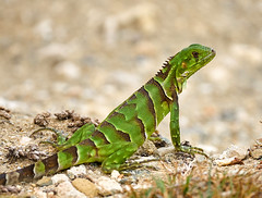 Green Iguana - Iguana iguana (Oldt1mer - Keith) Tags: iguana green lizard iguanaiguana brown bokeh eye detail aruba claws stripes posing rocks stones spines reptile