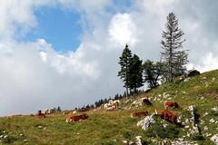 Cows grazing on Velika Planina, Slovenia (dianora77) Tags: preraphaelite williamholmanhunt cows alps slovenia velikaplanina