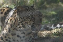 047_Great Cats Park_Leopard (steveAK) Tags: greatcatsworldpark leopard