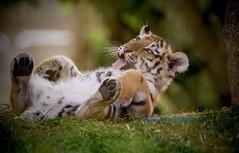 Having fun! (Albatross Imagery) Tags: cats bigcats cute uk flickr instagram animalsatplay beautiful animals zoo cub tigercub tiger marwell marwellzoo marwellwildlife amurtigercub