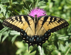 Swallowtail Butterfly Feeding on a Thistle Flower DSCF3025 (Ted_Roger_Karson) Tags: fujifilmxs1 swallowtailbutterfly handheldcamera raynoxdcr150 thisisexcellent thistleflower thistleflowerhead fujifilm xs1 swallowtail butterfly hand held camera thistle flowerhead raynox dcr150 super macro flower back yard friends backyard animals flying motion northern illinois macrolife flowers twop hd eyes pollen animal outdoor insect pollinator plant depth field the group ourplanet clear wing with extended feeding northernillinois