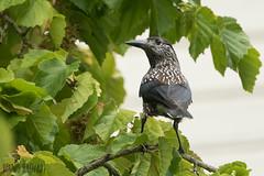 Tannenhaher (Nucifraga caryocatactes) (Dennis -[:.:]-) Tags: tannenhher vgel nucifraga caryocatactes spotted nutcracker bird