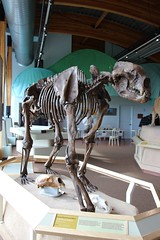 Giant Short-faced Bear (demeeschter) Tags: canada yukon territory whitehorse beringia interpretive centre museum heritage archaeology palaeonthology history attraction science