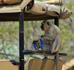 African Safari .... vervet monkey having a midday snack (Hannah 0013) Tags: nature wildlife vehicle safari monkey