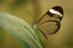 Butterfly-2.jpg (Kurt Braeckmans) Tags: 100mm f28 l orangerie du pappilion butterfly chimay macro zefoda animals closeup detail 100mmf28l orangeriedupappilion 100v10f