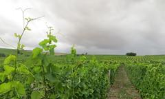13-IMG_7471 (hemingwayfoto) Tags: bodenheim fürwetteralbum grün landschaft landwirtschaft natur rebstock regen rheinlandpfalz rheinterasse wein weinbau weinberg weinstock wetter wingert wolken