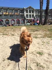Happy puppy (Faraz Zahabian) Tags: dog cute puppy fun happy pom funny cutedog pomchi happypuppy fundog