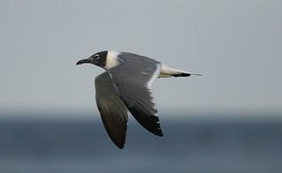 Laughing Gull (Leucophaeus atricilla) LAGU -