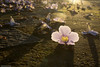 af1503_6339 (Adriana Füchter ... thank you for 5 Million Views) Tags: flowers autumn flores macro love nature amor natureza flor chao outono calçada lilas estacao tumbergia adrianafüchter