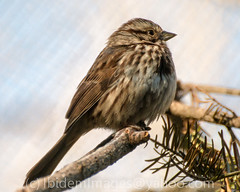 Song Sparow (Maia Cavelli at IBIDEM IMAGES) Tags: nature birds songsparrow minnesotazoo minnesotatrail