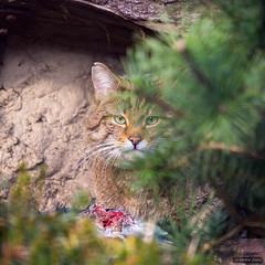 This is mine! (martinewietske) Tags: wild animals cat kat wilde tierpark dieren dierentuin boskat nordhorn