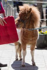 Torero? Junger Stier? H? (HendrikSchulz) Tags: germany deutschland stall pony april pferd pauli weh 2015 minishetty friesenstallweh