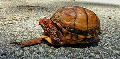 A portrait of a three toed box turtle spotted crossing a road (elnina999) Tags: street old wild summer pet abstract macro cute nature animal closeup three box turtle reptile unique tx wildlife hard tortoise shell houston shy friendly carolina pastures grassland protection battered terrapene threetoed burrows omnivorous migrate toed triunguis openwoodlands ectothermal bilobed nokialumia1020 hingedshell hingedplastron andmarshymeadows