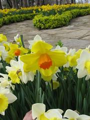 IMG_6078 (Gkmen Kmrt) Tags: tulips tulip 2014 emirgan laleler
