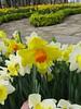 IMG_6078 (Gökmen Kımırtı) Tags: tulips tulip 2014 emirgan laleler