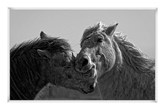 CAMARGUE-EL PADRE picture (thierrymuller) Tags: bw horse france nature monochrome animal french photo nikon noiretblanc tamron lafrance noirblanc camargue bordure nikonpassion thierrymuller frenchttouch elpadrepicture bordurephoto httpswwwflickrcomsearchqbordure20photo