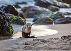 Starving Baby Sea Lions Flood Southern California Shores (Eric Zumstein) Tags: ocean california beach nature canon sigma malibu pointdume seal sealion