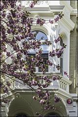 Bonn-Kirschbluete-25 (kurvenalbn) Tags: deutschland bonn pflanzen blumen nordrheinwestfalen frühling kirschbluete