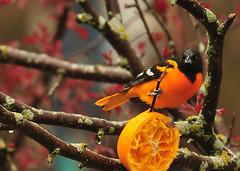 orange is the new black (anniedaisybaby) Tags: orange black colour tree bird spring backyard manitoba avian interlake baltimoreoriole oriole icterusgalbula orangeisthenewblack magicunicornverybest