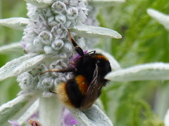 Lambs Ear and Bee close up. (FloraandFauna_2) Tags: pink flower silver grey bee herb plas anglesey newydd