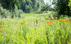Butterfly Weed in Meadow (markie623) Tags: nature weed scenic meadow butterflyweed