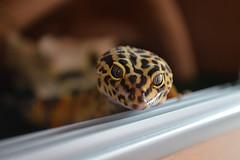Freddy!! (osophie20) Tags: reptile gecko lizard leopardgecko