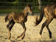 Foal 1 month old 2 (Petra Ries Images) Tags: portrait horse eva manual pferd foal fohlen mhlviertel vintagelens pentax110