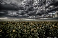 196#365 Storm Hdr (Fabio75Photo) Tags: sky panorama storm green rain yellow foglie landscape nuvole cielo campo infinito pioggia hdr luce girasoli tempesta agricolo