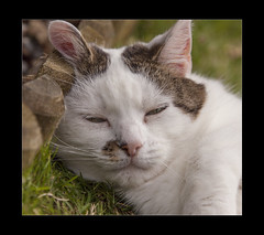 Do Not Disturb (mini-b) Tags: notmycat inthegarden catcalledsue resting lookingcute canon eos5dmkii