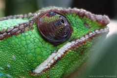 P1010453 (LaBonVampire) Tags: leica nature animals lumix chameleon reptiles leicalenses