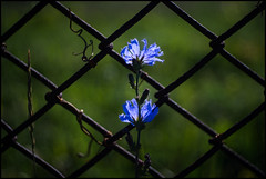 Wild Blue Chicory (Lens Bubbles) Tags: camera blue fence 50mm diy wire bokeh chicory folder f29 beltica meyeroptik trioplan