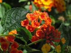 Return of the Tiny Yellow-Orange Flowers (Robb Wilson) Tags: yelloworangeflowers macrophotography tinydetails grandpark losangeles downtownla