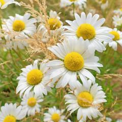 * (Ji-) Tags: fleurs flowers t summer compton estrie qubec canada fujifilm xt1 fujinon xf16mmf14wr