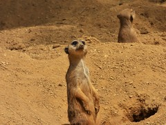 Duisburg Zoo- Meerkats (2) (whittakermj4) Tags: standing zoo meerkat duisburg alert enclosure erdmnnchen meerkats duisburgzoo